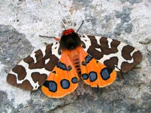 State of nature: Garden Tiger moth