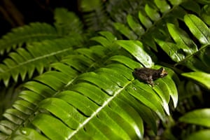 World Biodiversity Day: Indonesia reef and forests : Papuan Tree Frog