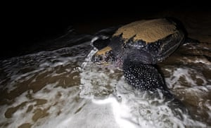 World Biodiversity Day: Indonesia reef and forests : Leatherback Turtle