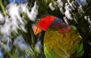 World Biodiversity Day: Indonesia reef and forests : Black-capped Lory in Papua