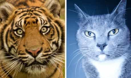 The eyes have it – but why are big cats' and domestic cats' different shapes?