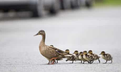Ducks crossing road