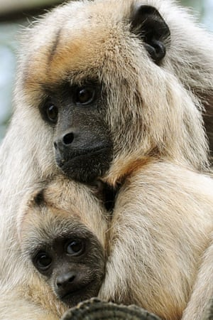 Twelve week-old Black and Gold Howler monkey, Donatello with his mother Lottie at Twycross Zoo, Warwickshire. Donatello is the latest addition to Twycross Zoo's large family group of Howlers.