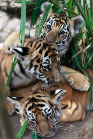 Our first cute animal photo of the day: Three two-month old Bengal tiger cubs play in their enclosure at the animal refuge La Fundacion Refugio Salvaje (Furesa) in La Libertad on the outskirts of San Salvador. Photograph: Ulises Rodriguez/Reuters