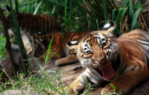 And another angle Bengal tiger cub called Tily in its enclosure at the animal refuge.