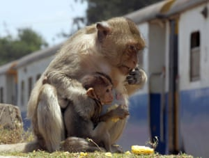A monkey and its baby eat corn as a train rolls past in downtown Lopburi province, central Thailand. Photograph: Apichart Weerawong/AP