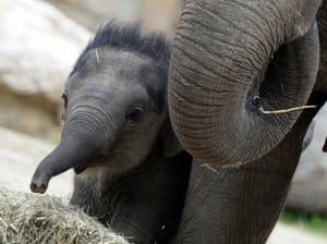 A 100-day-old baby elephant (name not given)  walks with its French mother Angele to celebrate his first100 days at Budapest Zoo and Botanic Garden during a special birthday ceremony.