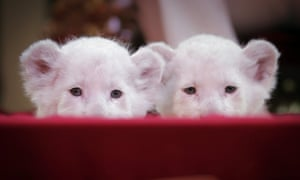 One more cute animal photo of the day: Two white lion cubs look into the camera during a photo session at Circus Krone in Darmstadt, Germany. Circus Krone has introduced six baby lions, four white and two brown. They were born two weeks ago. Photograph: Fredrik Von Erichsen/AFP/Getty Images