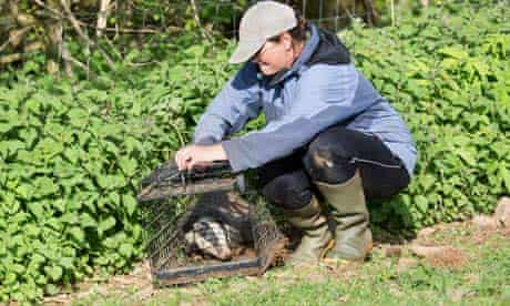 rosie woodroffe badgers