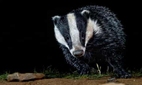 badger tuberculosis