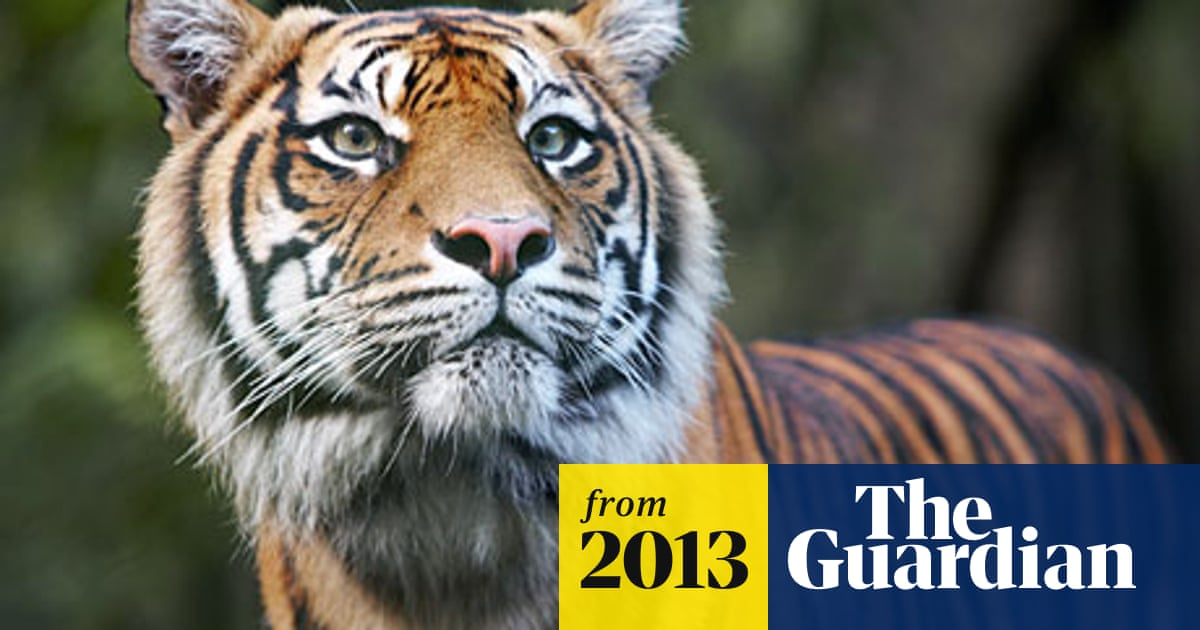 Sumatran Tiger Even Rarer Than Previously Thought Study