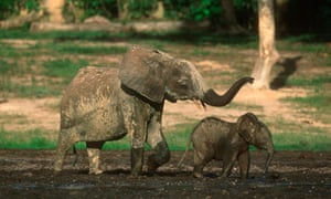 African Forest Elephant Calf and Mother
