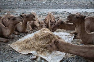 FTA: Siegfried Modola : Camels from the caravan eat dried grass