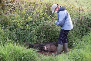 Tracking badgers: using electronic collar, in Cornwall