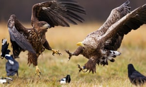 Two white-tailed eagles squabble over food next to magpies and ravens in the wilds in central Poland, Europe.