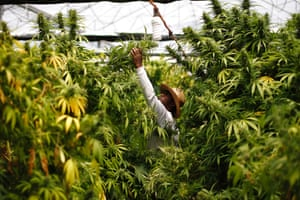 Herbal medicine: A worker harvests cannabis plants at a plantation near the northern town of Nazareth. Marijuana is an illegal drug in Israel. Medicinal use of it was first permitted in 1993. Cannabis is used in Israel to treat 11,000 people suffering from illnesses such as cancer, Parkinson's, multiple sclerosis, Crohn's disease and post traumatic stress disorder. Photograph: Amir Cohen/Reuters