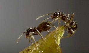 ant (lasius neglectus)