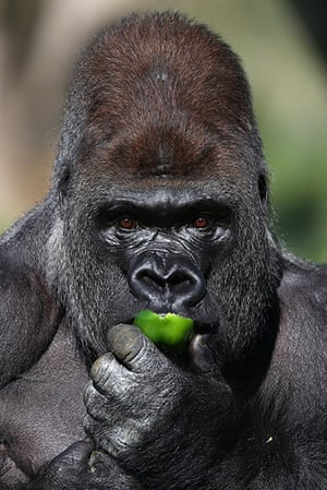 24 hours in pictures: Silverback Gorilla Joins London Zoo