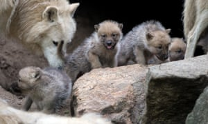 A wolf plays with one-month-old puppies in their enclosure at Berlin zoo.