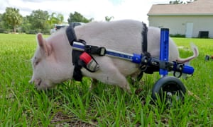pig called Chris P Bacon