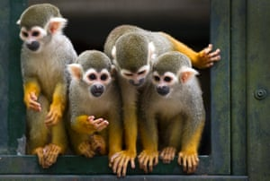 Cute animal picture of the day is of four of seven new squirrel monkeys who have recently arrived at Dortmund zoo in Germany.