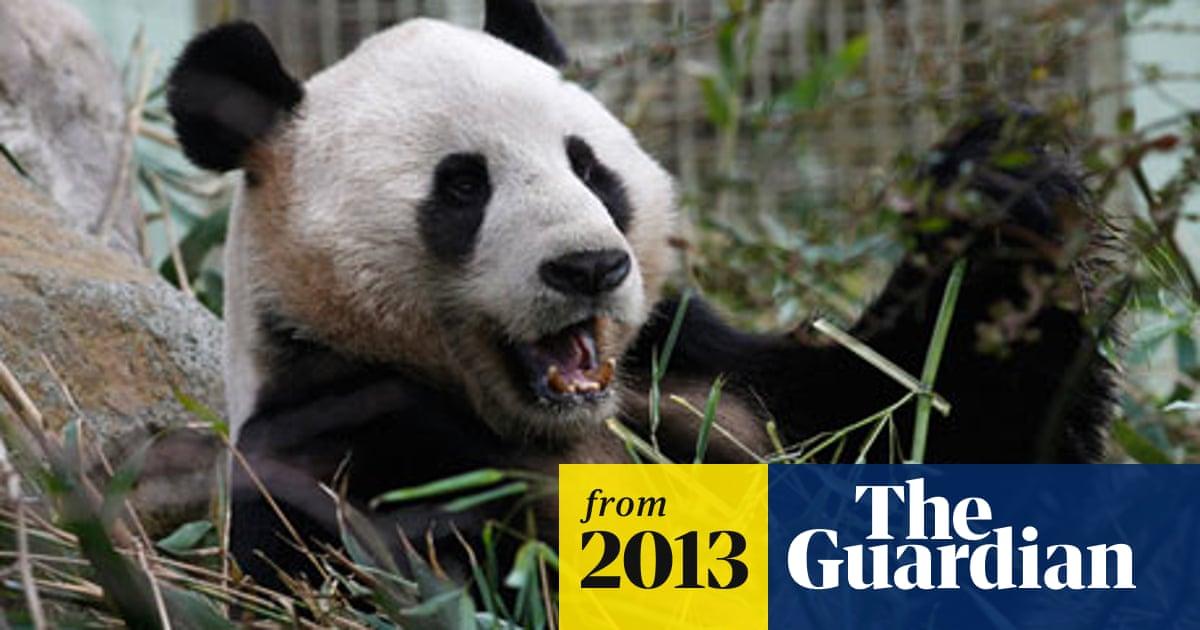 Edinburgh Zoo S Pandas Help Boost Visitor Numbers By 51 Edinburgh The Guardian