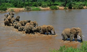 Elephants cross the Ewaso Nyiro river in Samburu game reserve. United Nations Environment Programme goodwill ambassador and Chinese actress Li Bingbing was on an official visit in Kenya to highlight issues of Africa's poaching crisis.