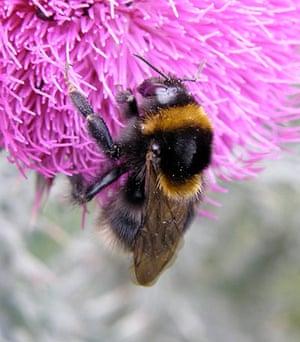 UK bees and bumblebees: Bombus ruderatus