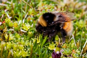 UK bees and bumblebees: Bilberry Bumblebee, Bombus monticola, on Cyphel,  Minuartia sedoides