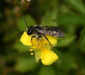 UK bees and bumblebees: Andrena tarsata