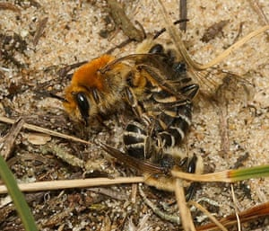 UK bees and bumblebees: Colletes halophilus