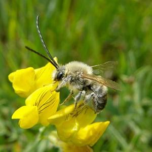 UK bees and bumblebees: Eucera longicornis