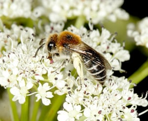 UK bees and bumblebees: Colletes floralis