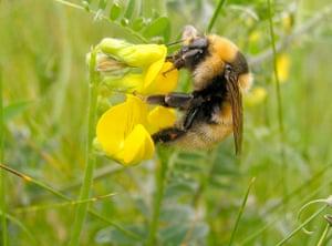 UK bees and bumblebees: Bombus distinguendus