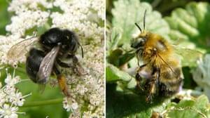 UK bees and bumblebees: Anthophora retusa