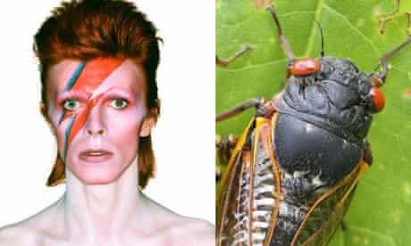 cicada david bowie