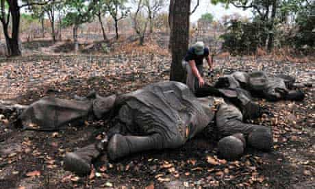 An elephant that was found killed for its ivory in Cameroon