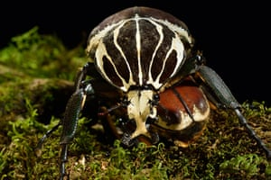 Micro Monsters: The Goliath Beetle