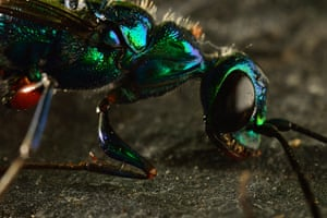 Micro Monsters: .A Cockroach Wasp is filmed with the 3d cube rig.