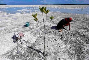 Kiribati, Pacific island: A dog sits in the shade of a mangrove tree as a woman uses a fork to dig fo