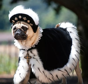 pugs in costume: Crazy Pugs
