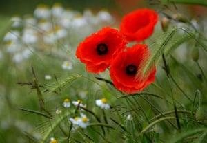 Week in Wildlife: Poppy flowers grow on a field in Gustorf