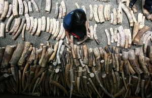 Week in Wildlife: A woman arranges confiscated elephant ivory tusks  in Quezon city