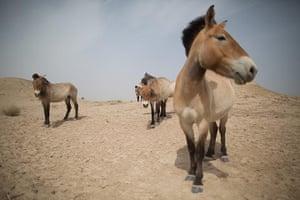 Week in Wildlife:  Przewalski's horses, Gansu, China