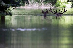 Week in Wildlife: Fled from the flood, two deers