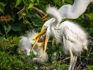 Week in Wildlife: Great White Egret Pictured While Feeding Her Chick