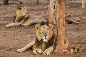 Week in Wildlife: Gir Lion Sanctuary at Sasan in Junagadh district of Gujarat state, India