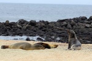 Week in Wildlife: Study consideres Galapagos sea lions endangered species