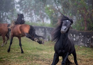 "Week in Wildlife: Wild horses fight during the ""Rapa Das Bestas"" event in Mougas, Spain"