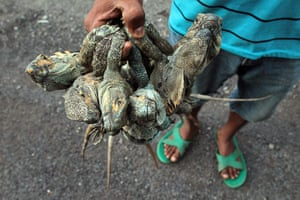 Week in Wildlife: A man sells iguanas on the highway to the colonial city of Leon